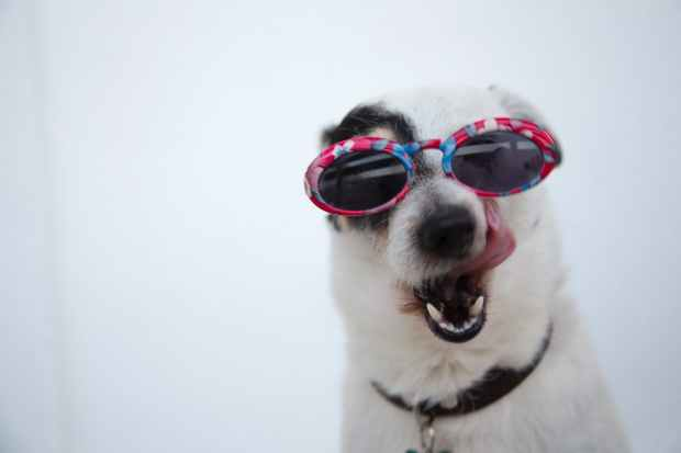 close up photo of dog wearing sunglasses